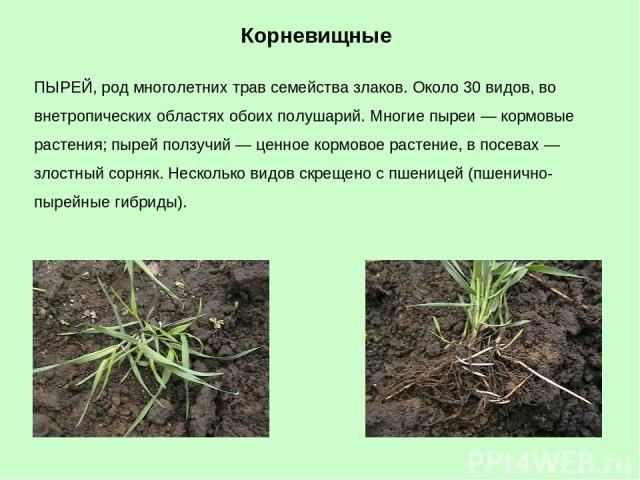 ПЫРЕЙ, род многолетних трав семейства злаков. Около 30 видов, во внетропических областях обоих полушарий. Многие пыреи — кормовые растения; пырей ползучий — ценное кормовое растение, в посевах — злостный сорняк. Несколько видов скрещено с пшеницей (…