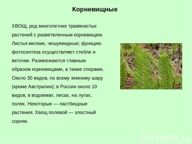 ХВОЩ, род многолетних травянистых растений с разветвленным корневищем. Листья мелкие, чешуевидные; функцию фотосинтеза осуществляют стебли и веточки. Размножаются главным образом корневищами, а также спорами. Около 30 видов, по всему земному шару (к…