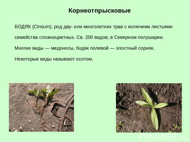 БОДЯК (Cirsium), род дву- или многолетних трав с колючими листьями семейства сложноцветных. Св. 200 видов, в Северном полушарии. Многие виды — медоносы, бодяк полевой — злостный сорняк. Некоторые виды называют осотом. Корнеотпрысковые