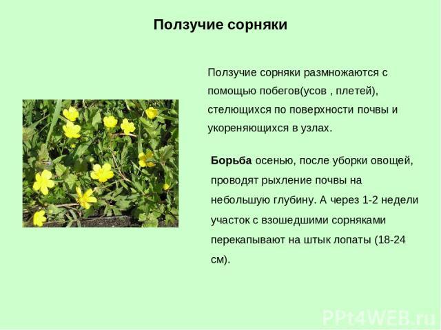 Ползучие сорняки размножаются с помощью побегов(усов , плетей), стелющихся по поверхности почвы и укореняющихся в узлах. Борьба осенью, после уборки овощей, проводят рыхление почвы на небольшую глубину. А через 1-2 недели участок с взошедшими сорняк…