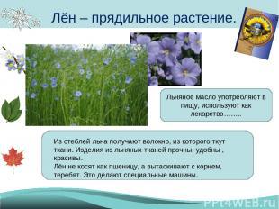 Лён – прядильное растение. Из стеблей льна получают волокно, из которого ткут тк