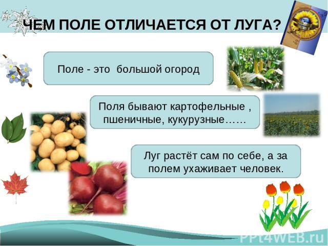 ЧЕМ ПОЛЕ ОТЛИЧАЕТСЯ ОТ ЛУГА? Поле - это большой огород Поля бывают картофельные , пшеничные, кукурузные…… Луг растёт сам по себе, а за полем ухаживает человек.