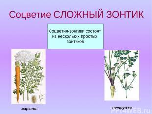 Соцветие СЛОЖНЫЙ ЗОНТИК Соцветия-зонтики состоят из нескольких простых зонтиков