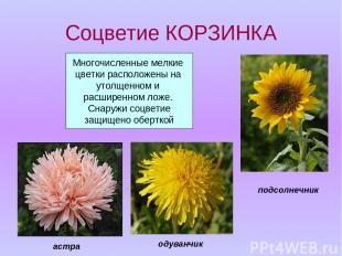 Соцветие КОРЗИНКА Многочисленные мелкие цветки расположены на утолщенном и расши