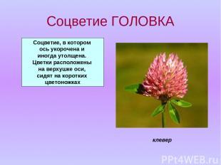 Соцветие ГОЛОВКА Соцветие, в котором ось укорочена и иногда утолщена. Цветки рас