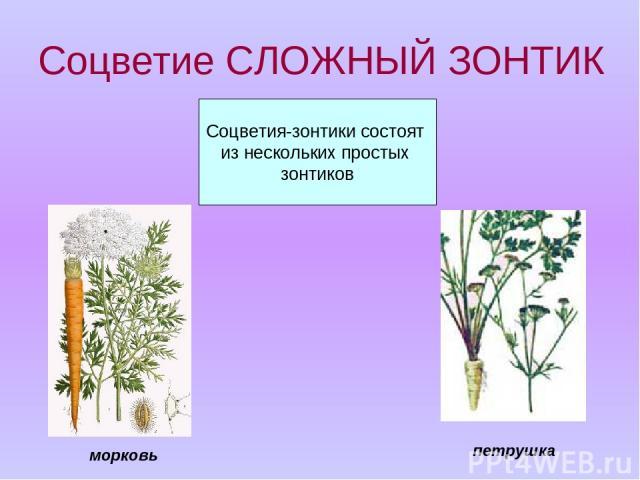 Соцветие СЛОЖНЫЙ ЗОНТИК Соцветия-зонтики состоят из нескольких простых зонтиков петрушка морковь