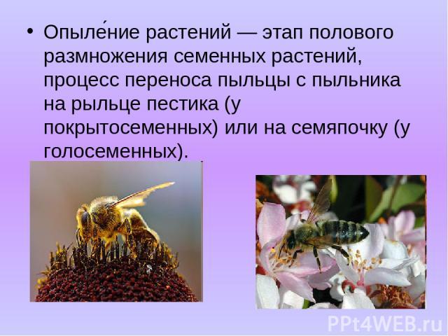 Опыле ние растений — этап полового размножения семенных растений, процесс переноса пыльцы с пыльника на рыльце пестика (у покрытосеменных) или на семяпочку (у голосеменных).