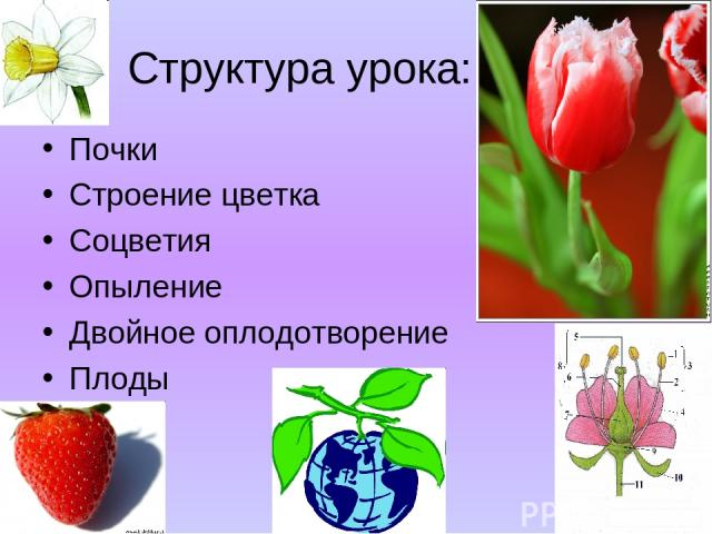 Структура урока: Почки Строение цветка Соцветия Опыление Двойное оплодотворение Плоды