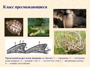 Продольный разрез кожи ящерицы (по Бючли): 1 — эпидермис, 2 — собственно кожа (к