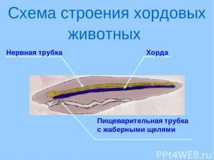 Нервная трубка Схема строения хордовых животных Хорда Пищеварительная трубка с ж