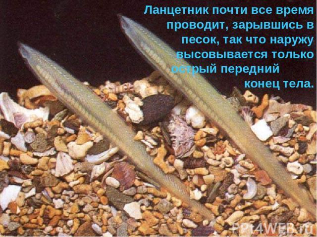 Ланцетник почти все время проводит, зарывшись в песок, так что наружу высовывается только острый передний конец тела.