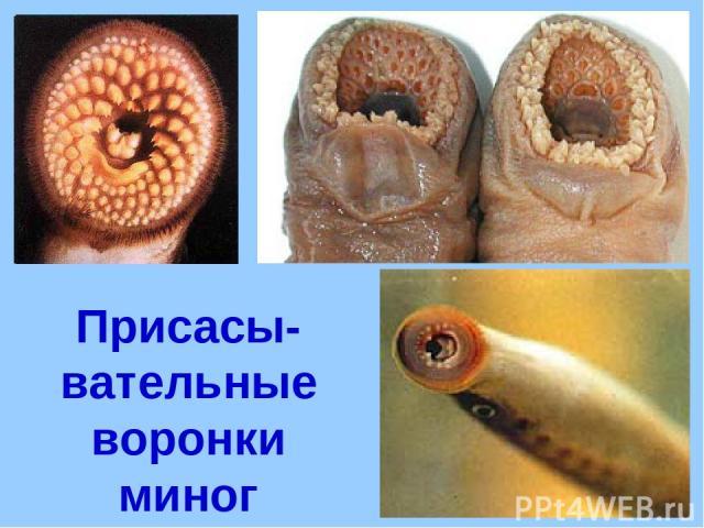 Присасы-вательные воронки миног