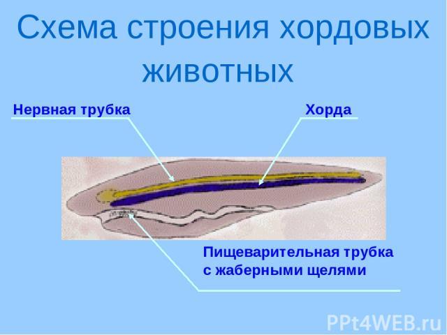 Нервная трубка Схема строения хордовых животных Хорда Пищеварительная трубка с жаберными щелями