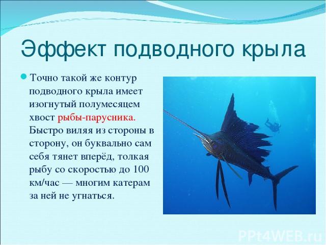 Эффект подводного крыла Точно такой же контур подводного крыла имеет изогнутый полумесяцем хвост рыбы-парусника. Быстро виляя из стороны в сторону, он буквально сам себя тянет вперёд, толкая рыбу со скоростью до 100 км/час — многим катерам за ней не…