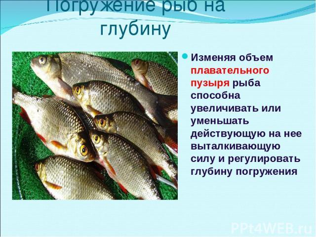 Погружение рыб на глубину Изменяя объем плавательного пузыря рыба способна увеличивать или уменьшать действующую на нее выталкивающую силу и регулировать глубину погружения