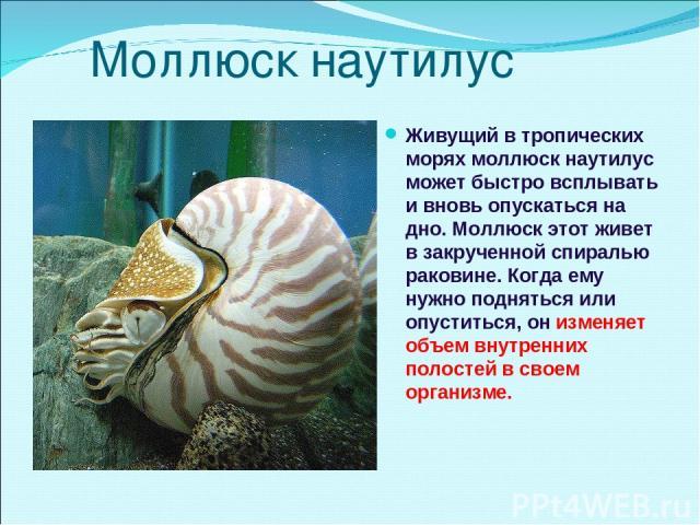 Моллюск наутилус Живущий в тропических морях моллюск наутилус может быстро всплывать и вновь опускаться на дно. Моллюск этот живет в закрученной спиралью раковине. Когда ему нужно подняться или опуститься, он изменяет объем внутренних полостей в сво…