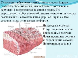 Слизистая оболочка языка, tunica mucosa linguae, гладкая в области корня, нижней