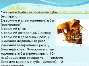 Зубы (denies) верхней и нижней челюстей у взрослого человека. Правая сторона 1-в