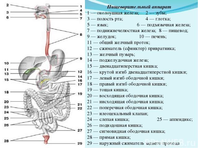 Пищеварительный аппарат 1 — околоушная железа; 2 — зубы; 3 — полость рта; 4 — глотка; 5 — язык; 6 — подъязычная железа; 7 — поднижнечелюстная железа; 8 — пищевод; 9 — желудок; 10 — печень; 11 — общий желчный проток; 12 — сжиматель (сфинктер) приврат…