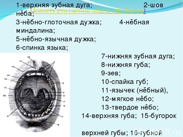 Полость рта (cavum oris) и зев (fauces) 1-верхняя зубная дуга; 2-шов нёба; 3-нёбно-глоточная дужка; 4-нёбная миндалина; 5-нёбно-язычная дужка; 6-спинка языка; 7-нижняя зубная дуга; 8-нижняя губа; 9-зев; 10-спайка губ; 11-язычек (нёбный), 12-мягкое н…