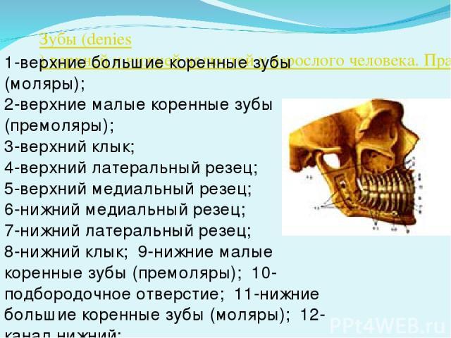 Зубы (denies) верхней и нижней челюстей у взрослого человека. Правая сторона 1-верхние большие коренные зубы (моляры); 2-верхние малые коренные зубы (премоляры); 3-верхний клык; 4-верхний латеральный резец; 5-верхний медиальный резец; 6-нижний медиа…