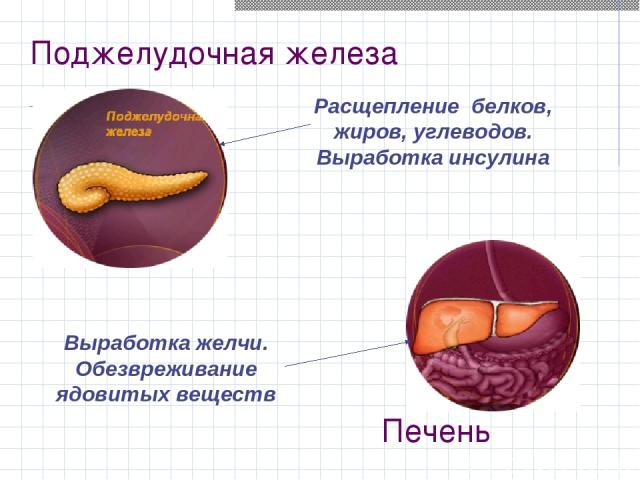 Поджелудочная железа Расщепление белков, жиров, углеводов. Выработка инсулина Выработка желчи. Обезвреживание ядовитых веществ Печень