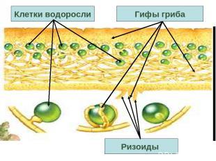 Ризоиды Клетки водоросли Гифы гриба