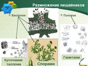 Размножение лишайников Бесполое Половое Спорами Кусочками таллома Гаметами