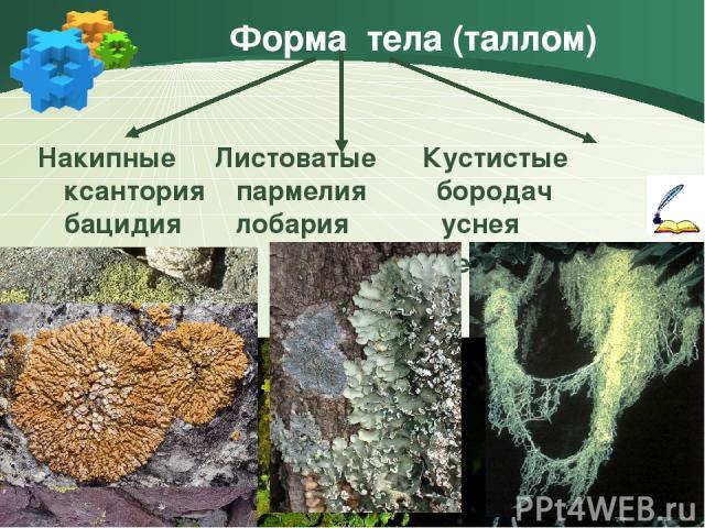 Форма тела (таллом) Накипные Листоватые Кустистые ксантория пармелия бородач бацидия лобария уснея ягель