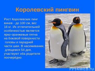 Королевский пингвин Рост Королевских пинг винов - до 100 см, вес 16 кг. Их отлич