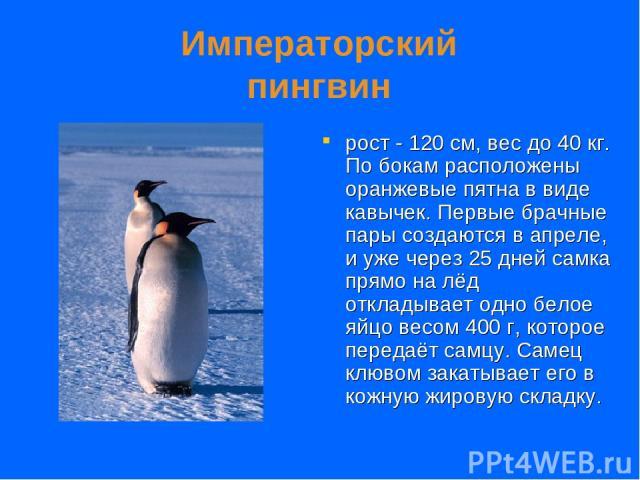 Императорский пингвин рост - 120 см, вес до 40 кг. По бокам расположены оранжевые пятна в виде кавычек. Первые брачные пары создаются в апреле, и уже через 25 дней самка прямо на лёд откладывает одно белое яйцо весом 400 г, которое передаёт самцу. С…