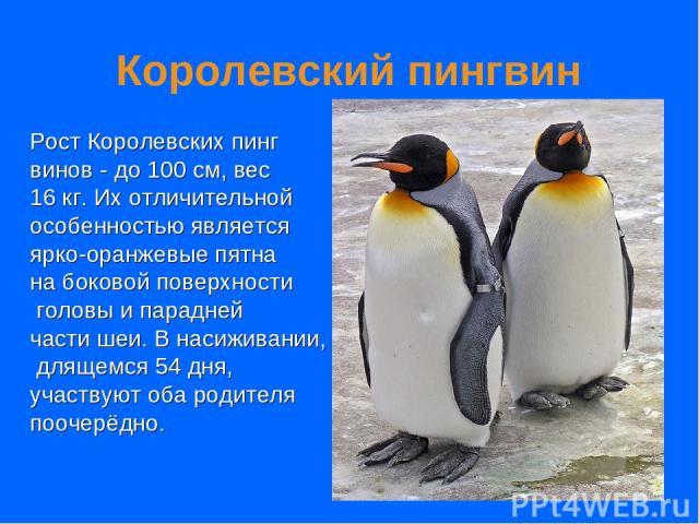 Королевский пингвин Рост Королевских пинг винов - до 100 см, вес 16 кг. Их отличительной особенностью является ярко-оранжевые пятна на боковой поверхности головы и парадней части шеи. В насиживании, длящемся 54 дня, участвуют оба родителя поочерёдно.