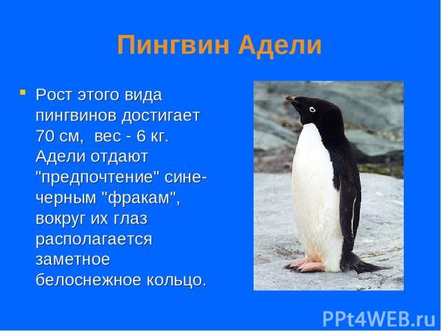 Пингвин Адели Рост этого вида пингвинов достигает 70 см, вес - 6 кг. Адели отдают