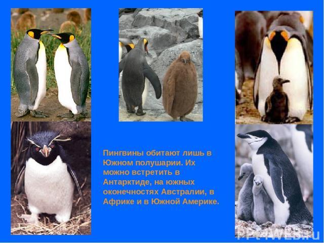 Пингвины обитают лишь в Южном полушарии. Их можно встретить в Антарктиде, на южных оконечностях Австралии, в Африке и в Южной Америке.