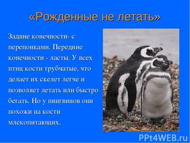 «Рожденные не летать» Задние конечности- с перепонками. Передние конечности - ласты. У всех птиц кости трубчатые, что делает их скелет легче и позволяет летать или быстро бегать. Но у пингвинов они похожи на кости млекопитающих.