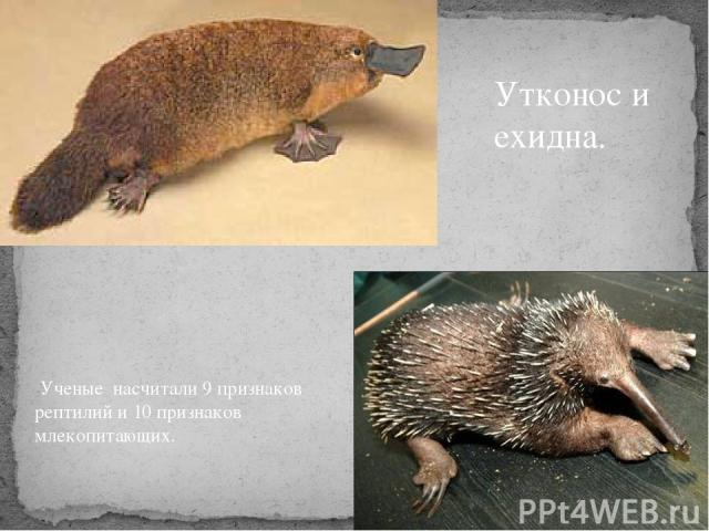 Ученые насчитали 9 признаков рептилий и 10 признаков млекопитающих. Утконос и ехидна.
