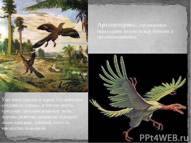 Уже имея крылья и перья, это животное сохранило, однако, и многие черты, присущие пресмыкающимся: зубы, хорошо развитые пальцы на передних лапах-крыльях, длинный хвост из множества позвонков. Археоптерикс, считающийся переходным звеном между птицами…