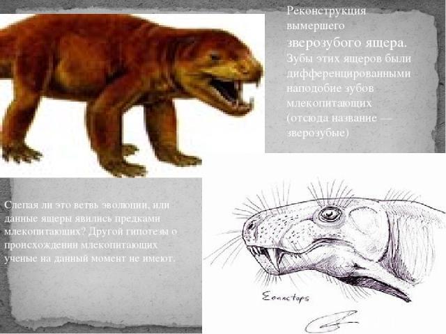 Слепая ли это ветвь эволюции, или данные ящеры явились предками млекопитающих? Другой гипотезы о происхождении млекопитающих ученые на данный момент не имеют. Реконструкция вымершего зверозубого ящера. Зубы этих ящеров были дифференцированными напод…