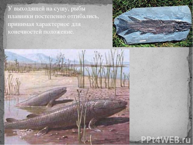 У выходящей на сушу, рыбы плавники постепенно отгибались, принимая характерное для конечностей положение.