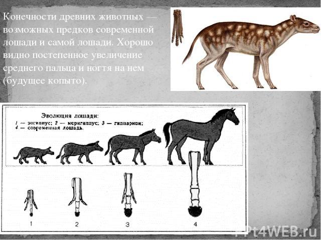 Конечности древних животных — возможных предков современной лошади и самой лошади. Хорошо видно постепенное увеличение среднего пальца и ногтя на нем (будущее копыто).