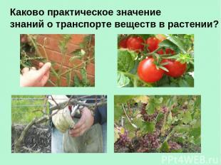 Каково практическое значение знаний о транспорте веществ в растении?
