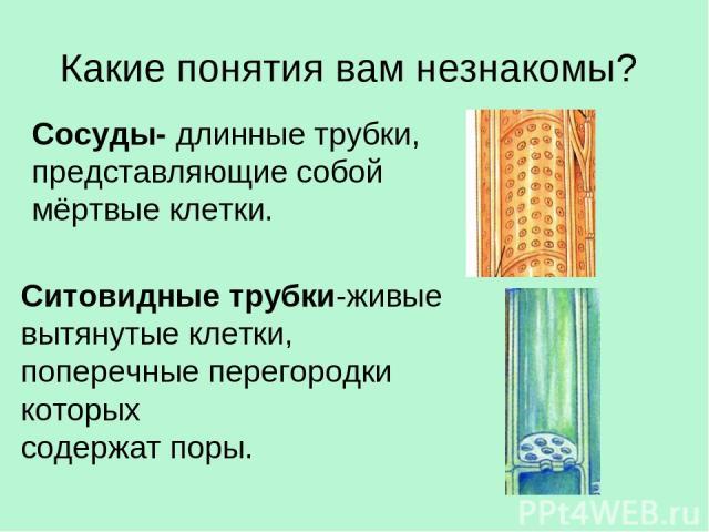 Какие понятия вам незнакомы? Сосуды- длинные трубки, представляющие собой мёртвые клетки. Ситовидные трубки-живые вытянутые клетки, поперечные перегородки которых содержат поры.