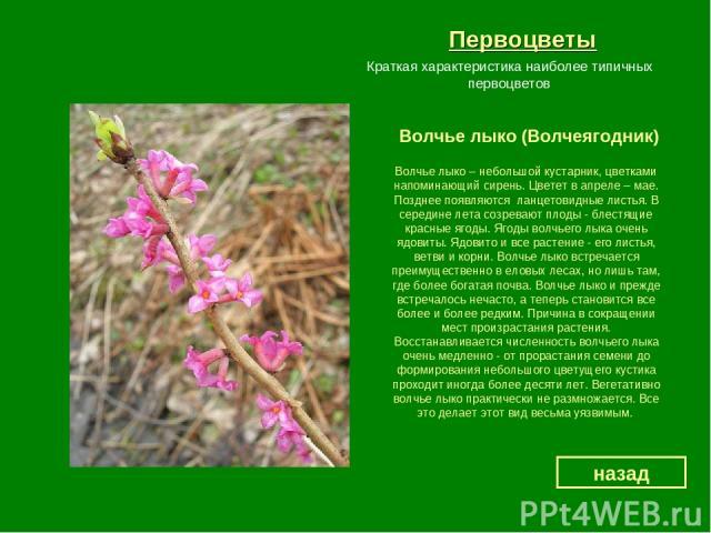 Первоцветы Волчье лыко (Волчеягодник) назад Краткая характеристика наиболее типичных первоцветов Волчье лыко – небольшой кустарник, цветками напоминающий сирень. Цветет в апреле – мае. Позднее появляются ланцетовидные листья. В середине лета созрева…