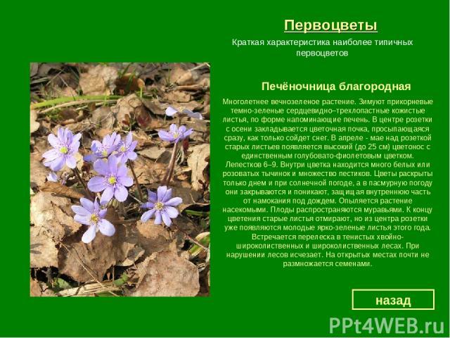 Первоцветы Печёночница благородная назад Краткая характеристика наиболее типичных первоцветов Многолетнее вечнозеленое растение. Зимуют прикорневые темно-зеленые сердцевидно–трехлопастные кожистые листья, по форме напоминающие печень. В центре розет…