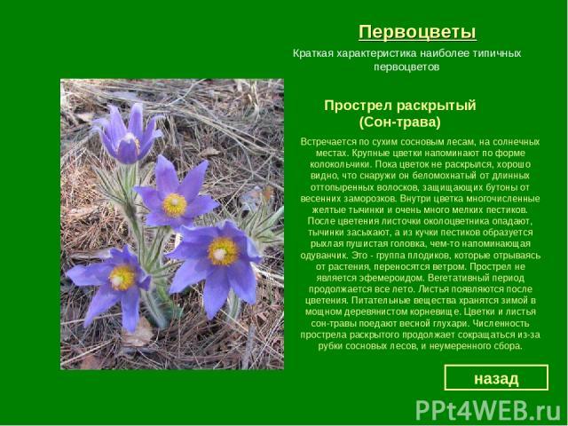 Первоцветы Прострел раскрытый (Сон-трава) назад Краткая характеристика наиболее типичных первоцветов Встречается по сухим сосновым лесам, на солнечных местах. Крупные цветки напоминают по форме колокольчики. Пока цветок не раскрылся, хорошо видно, ч…
