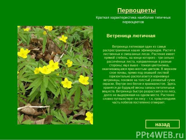 Первоцветы Ветреница лютичная назад Краткая характеристика наиболее типичных первоцветов Ветреница лютиковая один из самых распространенных наших эфемероидов. Растет в лиственных и смешанных лесах. Растение имеет прямой стебель, на конце которого - …