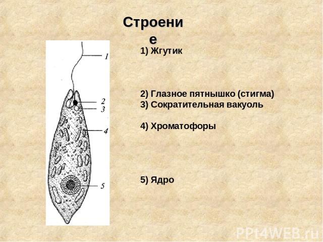 1) Жгутик 2) Глазное пятнышко (стигма) 3) Сократительная вакуоль 4) Хроматофоры 5) Ядро Строение