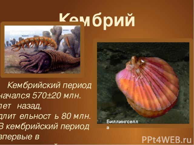 Кембрий Кембрийский период начался 570±20 млн. лет назад, длительность 80 млн. В кембрийский период впервые в геологической истории появились скелетные организмы. Археоциаты Биллингселла