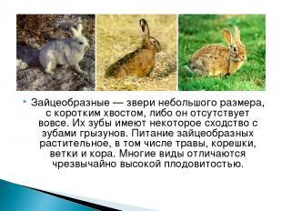 Зайцеобразные— звери небольшого размера, с коротким хвостом, либо он отсутствуе