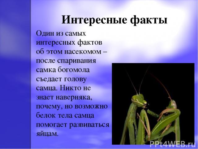 Интересные факты Один из самых интересных фактов об этом насекомом – после спаривания самка богомола съедает голову самца. Никто не знает наверняка, почему, но возможно белок тела самца помогает развиваться яйцам.
